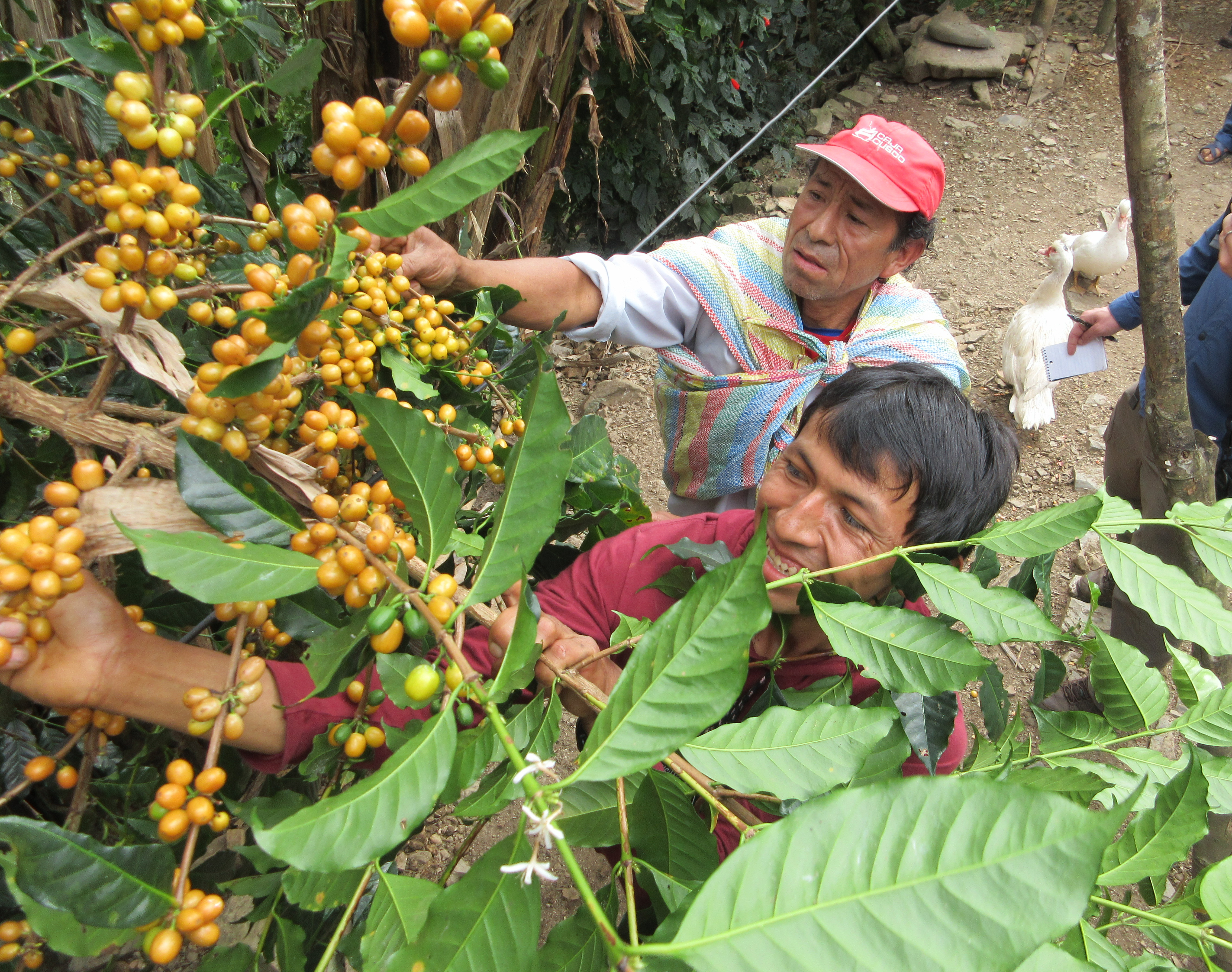 Men picking coffee cherries and smiling.